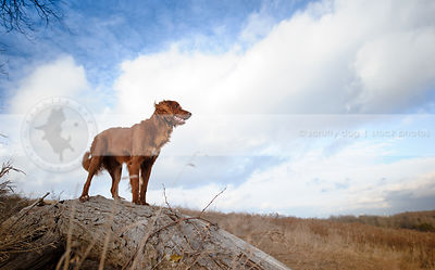 longhaired red setter cross dog standing on log under sky with clouds