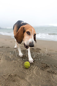 Tricolored Hound Dog Standing on Beach in Front of Ball