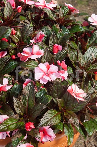 Photo de impatiens x novae guinea kokomo 39 red white star - Impatiens de nouvelle guinee ...