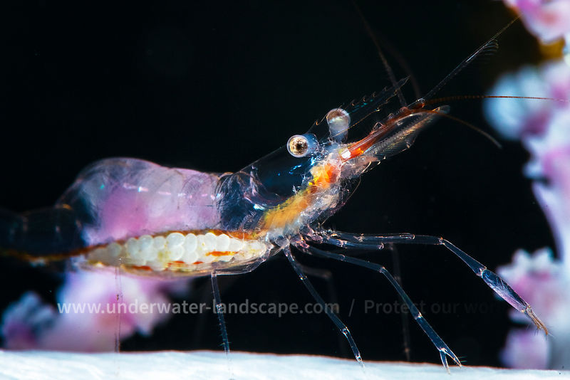 Shrimp: Detail at 70 meters deep