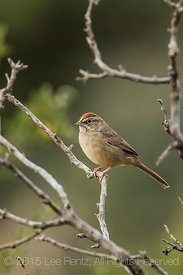 Rufous-crowned Sparrow, Aimophia ruficeps, in New Mexico