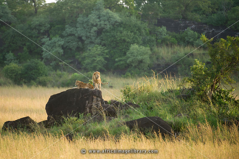 Lions on a rock (Panthero leo), Kidepo Valley National Park, Uganda