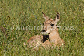 pronghorn_fawn_in_the_grass