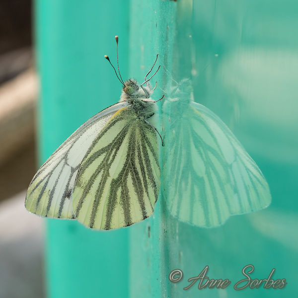 Green Veined White (Pieris napi) photos