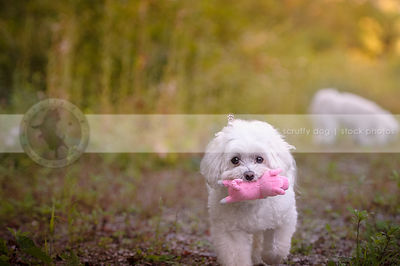 little white fluffy dog carrying toy on summer trail
