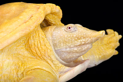 Asiatic softshell turtle (Amyda cartilaginea) photos