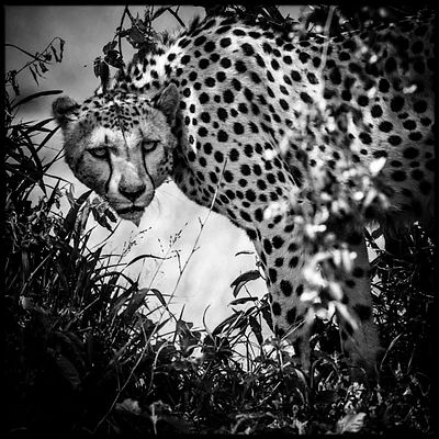 Hidden cheetah in the grass © Laurent Baheux