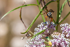 Great Golden Digger Wasp, Alviso, CA, USA