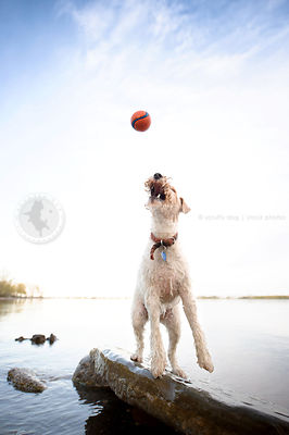 wet wirehaired fox terrier jumping for ball by water