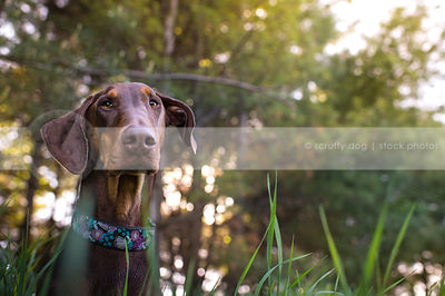portrait of brown and tan doberman dog staring in natural setting