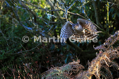 Juvenile male Eurasian Sparrowhawk (Accipiter nisus) in flight, Lyth Valley garden, Lake District National Park, Cumbria, England