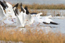 January - Snow Geese