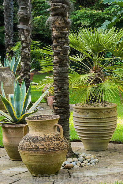 Pots clustering around the base of soaring Chusan palms, Trachycarpus fortunei, in the Sunken Garden, include Agave americanus 'Variegata' and Trachycarpus. Abbotsbury Subtropical Gardens, Abbotsbury, nr Weymouth, Dorset, UK