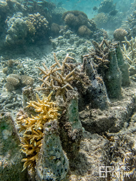 Well established Acropora hard corals growing on Bottle Reefs linking the few remaining natural patches of coral along the crest of TRACC's House Reef