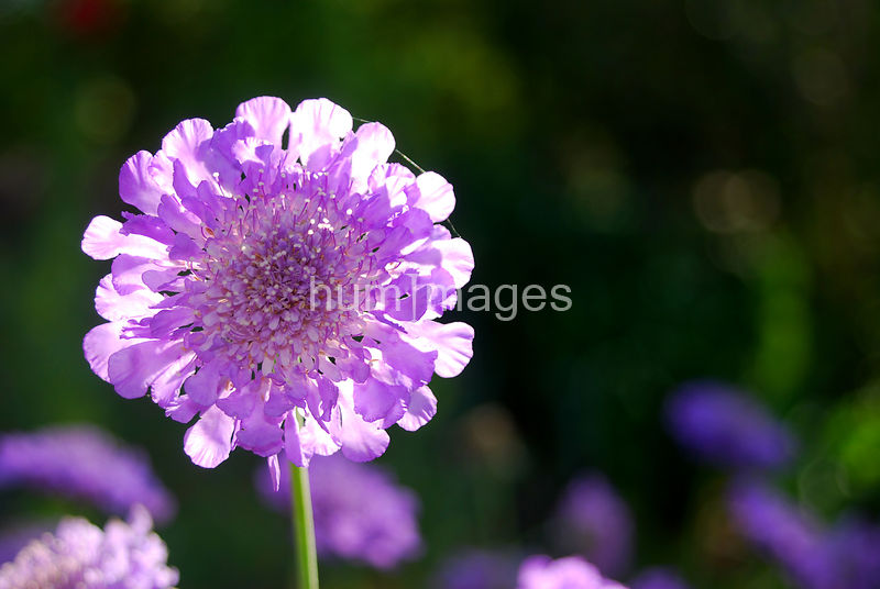 Pincushion Flower backlit