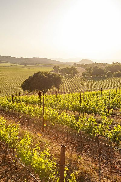 Spring vineyard photos for Antica Napa Valley photographed on May 4, 2015 in Napa, California