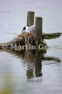 Black-Headed Gull (Larus ridibundus, Chroicocephalus ridibundus) on the nest, Leighton Moss, Lancashire, England
