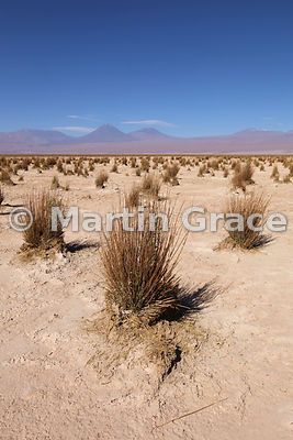 Brea vegetation (mixture of Stipa sp & Tessiaria (Tessaria) absinthioides) vegetation in the otherwise barren Salar de Atacama