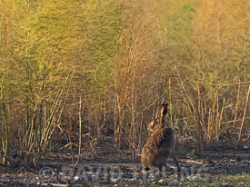 Brown Hare Elus europaeus in on edge of crop Norfolk autumn