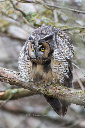 Owls and Ethics Photos, Long-eared Owl