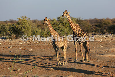 Male Plains Giraffe (Giraffa camelopardalis) amorously pursuing a female, Chudob waterhole, Etosha, Namibia