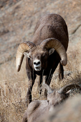 Bighorn Sheep_MG_6693