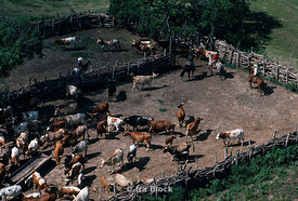 Cattle in a pen with cowboys