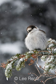 Gray Jay (Perisoreus canadensis) perched on a branch during a snowstorm on Hurricane Ridge, Olympic National Park, Olympic Peninsula, Washington, USA, March, 2009_WA_8127