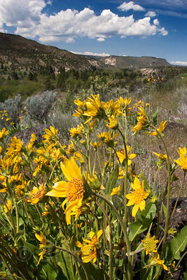 Flowering arnica (sp.) and beautiful mountain scenery near the Warm Springs Indian Reservation, Oregon