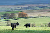 Galloway cattle in upland pasture, Cumbria, UK.