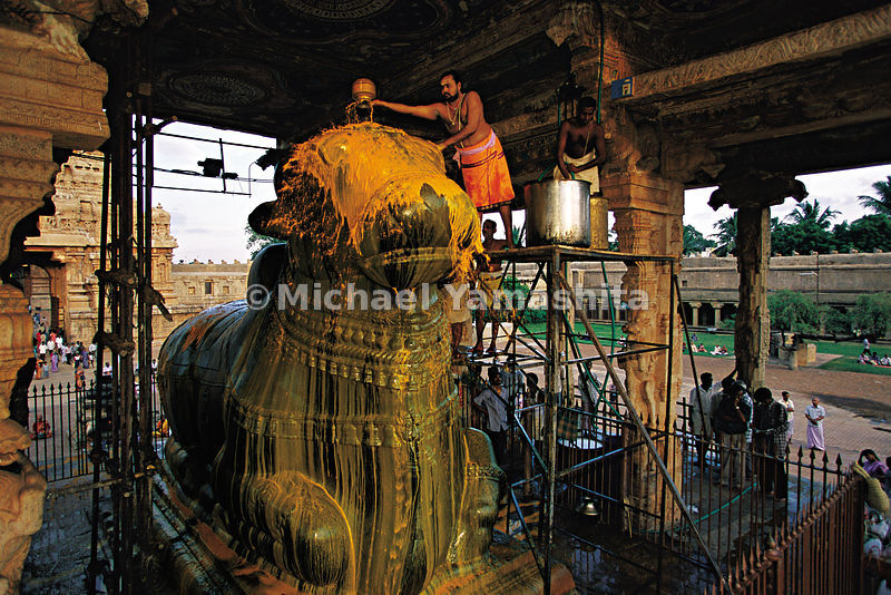 In Tanjore, India, a priest sprinkles the statue of the sacred bull Nandi with milk mixed with curry.