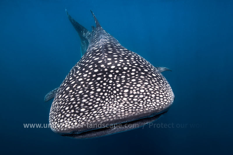 Whale shark picture-underwater photography