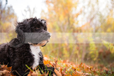 portrait of handsome black and white puppy lying in autumn leaves