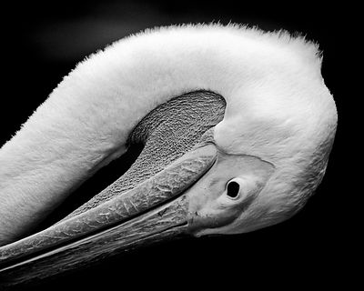 X-Bird-Beak_of_pelican_Laurent_Baheux