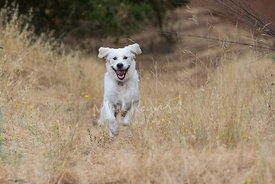 Retriever dog running up hill through tall grass