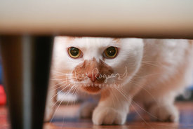 White and Orange Cat Looking Under Chair