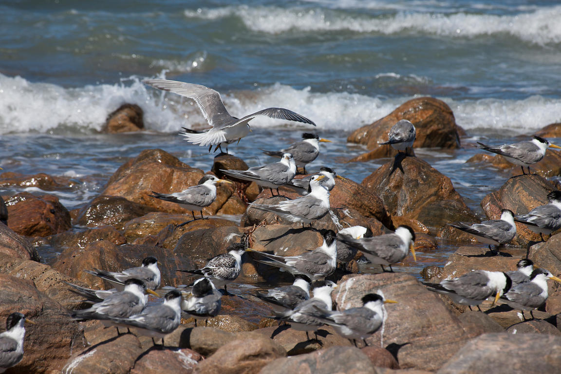 A Crested Tern colony