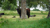 One black angus cow standing behind a tree