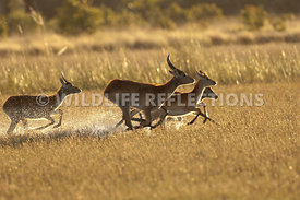 red_lechwe_group_running_2