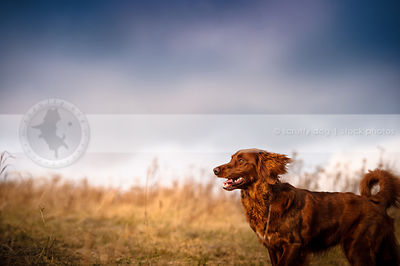 windblown red setter mixed breed dog in field under stormy sky
