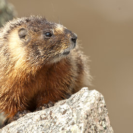 Marmot wildlife photos