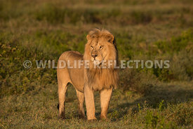 male_lion_stance_ndutu_02202015-1