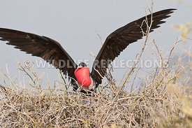 frigatebird_flight_sequence_5