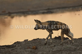 wild_dog_slinking_by_waterhole