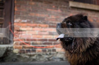 headshot of shaggy black chow dog panting at urban brick wall