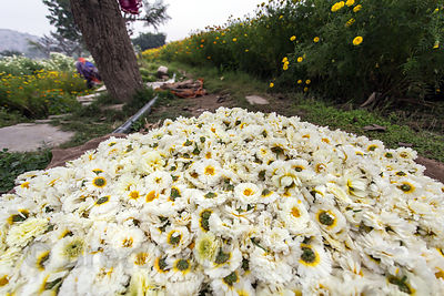 Flowers are processed on a flower farm, Shrinagar, Rajasthan, India