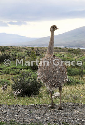 Lesser (Darwin's) Rhea (Pterocnemia pennata) with chicks, Patagonia, Region XII Magallanes y Antartica chilena, Chile