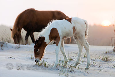One month old baby wild horse (Equus ferus caballus) and its mother at sunset on sand dunes along the Atlantic Ocean, Assateague Island, Maryland