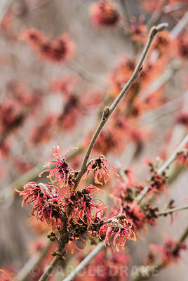 Hamamelis x intermedia 'Robert'. The Sir Harold Hillier Gardens/Hampshire County Council, Romsey, Hants, UK