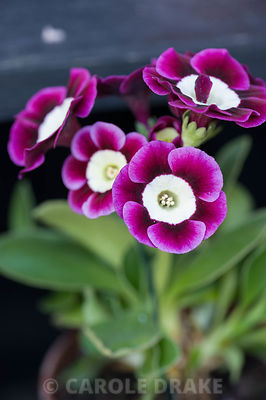 Auricula 'Dill'. Summerdale House, Lupton, Cumbria, UK